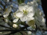 цветок,вишня,весна