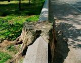 Фоторассказ о нелегкой судьбе и печальном конце одного питерского дерева...