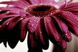 гербера, капельки, макро, цветы