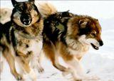 Самым надежным средством передвижения на Севере остются собачьи упряжки. Сколько людей погибло в лютые зимы при езде на снегоходах- встала машина и спасти жизнь можно только расчитывая на свои силы. Если с тобой упряжка, ты не погибнешь. Собаки любят работу, когда они работают, их кормят.