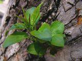 Молодые побеги пробиваются сквозь толстую кору деревьев - весна.