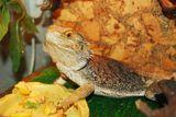 ящерицаигуана