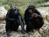 "Шимпанзе в зоопарке ""Сафари"".Рамат-Ган, Израиль."