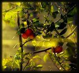 Если б встретил тебя, то я бы Обратился к тебе в стихах: «Набери мне Любимая яблок, Что созрели в райских садах... ...Вспыхнет золотом беспорядок На твоих осенних кудрях... ...Набери мне Любимая яблок, Что созрели в райских садах...(с)