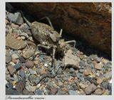 Дамалаканта Вакка(Damalacantha Vacca)  - редкий малоизученный вид, на грани изчезновения. Снимал  в Казахстане. Если ошибся в подвиде прошу поправить. В интернете очень мало информации и всего одно фото.