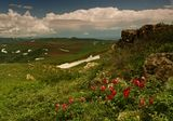 Степной пион, Алтай