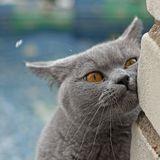 кошка Brenda, British Blue