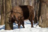 Сейчас об дерево бодаться потренируется. Потом за фотографа примется. В лесу под Серпуховом.