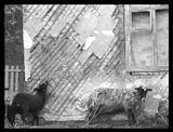 Оч назойливые ручные бараны, которые бегают вокруг тебя как собаки дворняги вокруг летней шашлычной.  Извините, не было фото в тему великой победы. С праздником!!!