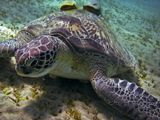 Красное море, черепаха Бисса, рыбы Прилипалы, снимала на глубине 4-5 метров