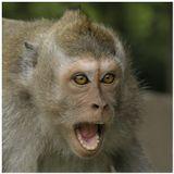 Молодые самцы макак-крабоедов главные провокаторы конфликтов.Главное не дрогнуть, когда макак делает угрожающий выпад в твою сторону, а у тебя в руках всего 105mm.о.Бали (Индонезия)