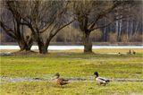 Покрово-Стрешневский парк, г. Москва, ранняя весна, утки