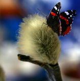 Теплолюбивая бабочка Адмирал сидит верхом на мартовской вербе. Они не могут существовать одновременно.