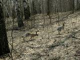Шел за убегающим кабаном, а на меня вышла эта парочка полинявших русаков  Весна, апрель, прогулки, зайцы