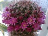 съёмка обычным сотовым телефоном. Один из кактусов в моей коллекции комнатных растений.