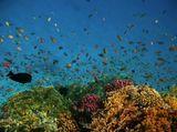 """""""Здравствуй, Красное Море, акулья уха,Негритянская ванна, песчаный котел!На утесах твоих, вместо влажного мха,Известняк, словно каменный кактус, расцвел...Целый день над водой, словно стая стрекоз,Золотые летучие рыбы видны,У песчаных, серпами изогнутых кос,Мели, точно цветы, зелены и красны....""""Николай ГумилёвКрасное море, ДРАГОЦЕННЫЙ ПСЕВДАНТИС и ХРОМИСЫ"""