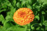 Золотистый цветок подобен маленькому солнцу.