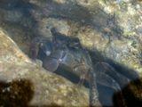 Мраморный краб поедает водоросли в небольшом гроте после отлива. Снято через воду.