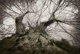 """Необычное высокое дерево с огромными шипами я увидела в парке города.Как оно называется не знаю,но хотелось преклонить перед ним колени,произнеся :""""ВАША КОЛЮЧЕСТЬ ...""""Спасибо за название работы ХМУРОМУ."""