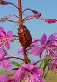 (жук, цветы, иван-чай, природа, небо, капельки, красота, раннее утро, роса)
