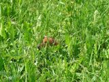 my mini dachshund Iulius get lost in high grass of midsummer