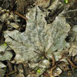 Опавший лист клёна, пролежавший зиму под снегом и бережно засушенный весенним солнцем.