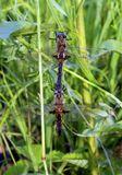 """(Спаривание двух стрекоз, Эпитека двупятнистая (Epitheca bimaculata), семейство Патрульщики, или Бабки (Corduliidae), которых нашла уже поздно, в 9 часу вечера, когда приехала в Подмосковье на одно озеро в Зарайском районе. Пошла искать устраивающихся на ночлег бабочек, но услышала шум в траве, пошла на это звук и увидела """"клубок"""" из стрекоз, что-то пошло не так, самка старалась освободиться от самца, так она и сделала, фото самочки будет позже)"""