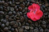 Кофе зацвел совершенно прекрасными цветами.  Июль 2008.