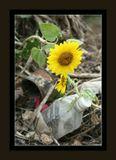 Подсолнух - символ Украины в горе мусора. Думаю тут слова излишни.