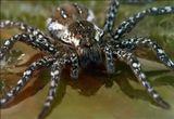 Паук размером 1,5 см сидит на мокром листочке бегонии. Почти полный кадр - хотелось заглянуть в глаза