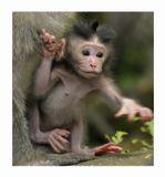 Макак-крабоед (Macaca fascicularis)