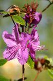 Где-то уже и лето наступило, а у нас вот багульник еще цветет...