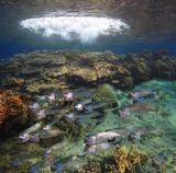 Скумбрия, уплывающая от волны.Красное море