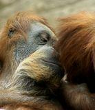 орангутанг,братья,животные