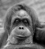 орангутанг  животные тоска грусть