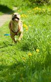 щенок, прогулка