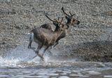 Дикие северные олени, р.Оленёк, Северо-западная Якутия