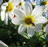 пчела. цветок. полет.