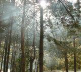 солнечные лучи сосны дым