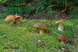 Есть у меня энциклопедия по грибам немецкого автора. Какие же в ней есть фотографии (особенно белых грибов) – глаз не оторвать! Каждый раз, когда просматриваю её, говорю супругу, что хорошо было бы хоть раз в жизни увидеть семью белых грибов, причем крепких. В прошлые года попадались прекрасные экземпляры, но стоящие далеко друг от друга. Несколько лет лелеяла такую мысль, чтобы удача улыбнулась в фото охоте.  И вот, несмотря на смог этим летом и невероятную засуху, пошли дожди и, лес ожил и стал приносить свои плоды. Хрустящий еще в августе под ногами мох стал мягким, вдоволь напившись дождя.