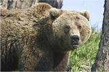 Встреча была случайной для обоих. Фотограф от неожиданности ойкнул и нажал на затвор фотоаппарата, матерый медведь от удивления приоткрыл рот и застенчиво рыкнул. Затем оба стали тихонечко пятиться назад, при этом зверь крутил головой, а человек с трудом сдерживал себя, чтобы не побежать. Все закончилось благополучно, о чем свидетельствует этот снимок. Но в этот день фотограф больше не брал в руки аппарат- руки предательски дрожали.