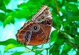 Морфо пелеида одна из самых  красивых  дневных бабочек  с размахом крыльев 95-120 мм. Её название происходит от древнегреческого бога Морфея. Обитают в Центральной Америке. Крошечные чешуйки покрывают крылья, собирают и отражают голубой свет (когда бабочка раскрывает крылышки), поэтому крылышки для человеческого глаза кажутся голубыми.