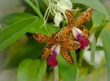 Пожалуй, среди всего царства растений наиболее причудливые цветки - у орхидей.Но природа ничего не делает просто так....Это Лелиокаттлея (Laeliocattleya preciosilla).~~~Panasonic Lumix-G1 + G-Vario 45-200ISO 400; 1/15; 4,6; F=194 mm ЭФР