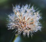капли цветок утро