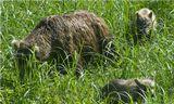 Самые крупные в мире бурые медведи водятся на Камчатке — они весят до 1000 кг. Самки приносят потомство только раз в 2—4 года. Уже к 3 месяцам медвежата имеют  молочные зубы и начинают есть ягоды, зелень и насекомых. В этом возрасте они весят около 15 кг, Любопытные и беспомощные медвежата вызывают умиление- так и хочется их погладить, но только не вздумайте к ним приблизиться, медведица всегда находится рядом и у любопытного мало шансов избежать ее яростной атаки.