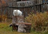 раннее утро, окраинная деревенская улица, из ближайшего двора вышел огромный, белый кот и забрался на пень-пьедестал...)