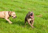 ...американский стаффордширский терьер и питбуль. Собаки с самым плохим пиаром.