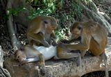 Дикие обезьяны в Шри Ланка