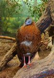 Отряд куринобразные, семейство фазановые. Распространен в Юго-Восточной Азии. Населяет густые непроходимые заросли в тропических лесах, ведет очень скрытный образ жизни.