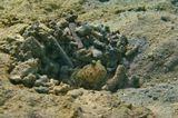 Сине- Красный Бычок- Компаньон обитает в Красном море на заиленном или грубом песке с обломками.Живет в норках, осторожен, при малейшей опасности прячется.Размер примерно 10 см, снимала на глубине 4- 5 метров.